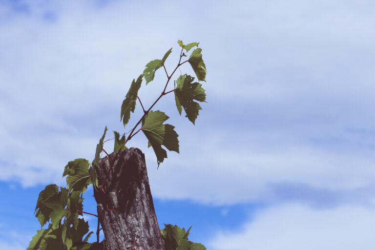 photo of grape vine climbing against background of blue sky and clouds