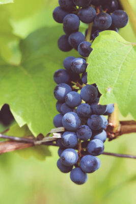 picture of red grapes on the vine